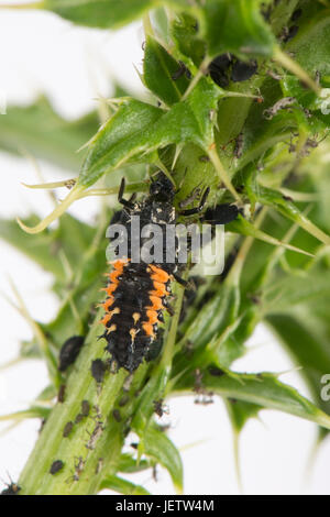Harlequin or Asian ladybird, Harmonia axyridis, larva - Stock Photo