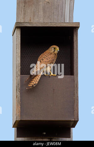 Common kestrel (Falco tinnunculus) female checking out nestbox in spring - Stock Photo