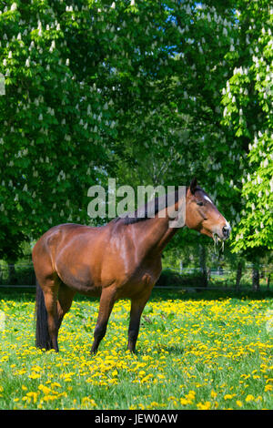Bay coloured Trakehner horse, East Prussian warmblood breed of horse in field, Germany - Stock Photo