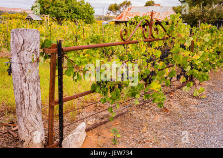 Vines growing on an old gate at the entrance to Gibson Wines in the Barossa Valley, South Australia - Stock Photo