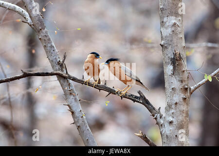 2 Brahminy starlings on a branch facing one another - Stock Photo
