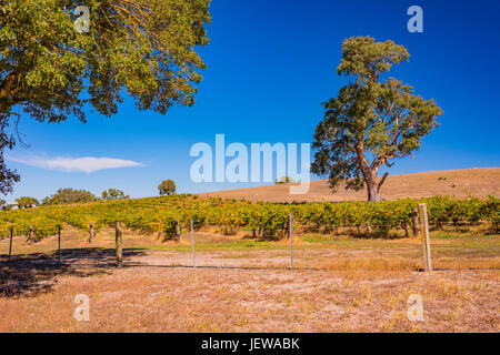 Tree growing near a vineyard in the Barossa Valley, South Australia - Stock Photo