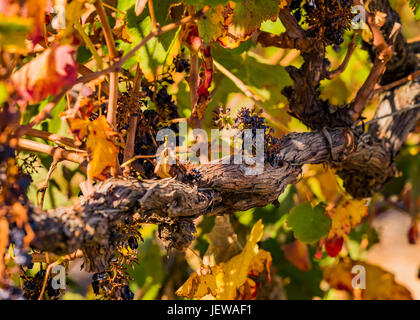 Close up of grapes growing on vines in the Barossa Valley, South Australia. - Stock Photo