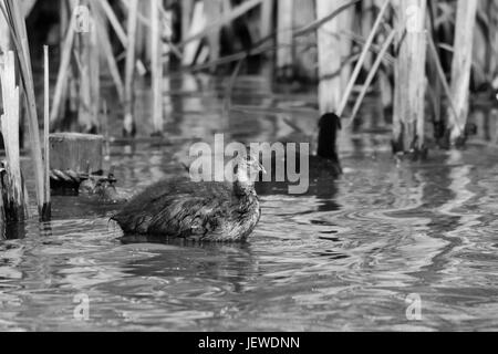 Black and white image of older coot duckling swimming amongst the lake reeds - Stock Photo