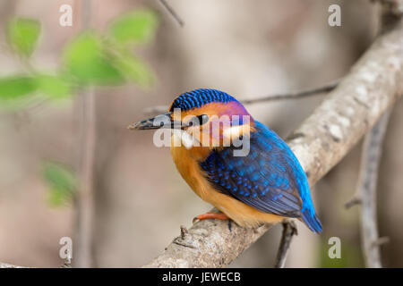 Kingfisher on perch. kuMahlahla Hide, Mkhuze Game Reserve, South Africa. - Stock Photo