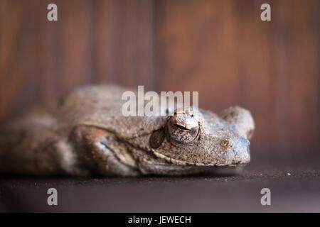 A Sleeping Frog, Mkhuze Game Reserve, South Africa - Stock Photo