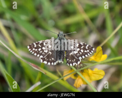 Grizzled Skipper butterfly (Pyrgus malvae) basking warming up on chalkland down - Stock Photo