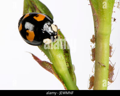 Harlequin or Asian ladybird, Harmonia axyridis, adult with black background and four red irregular spots, a variant - Stock Photo