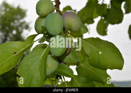 Victoria plums growing in a bunch on tree re fruit trees summer fruit common fruit English garden setting with out - Stock Photo