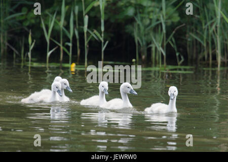 Mute swan cygnets, Cygnus olor, on River Ant, Norfolk, UK. June - Stock Photo