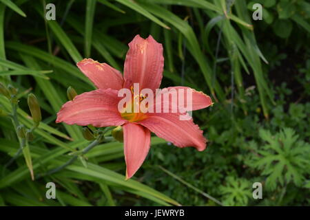 close up of single pink lily growing in garden with other green plants and shrubs in the background England UK - Stock Photo