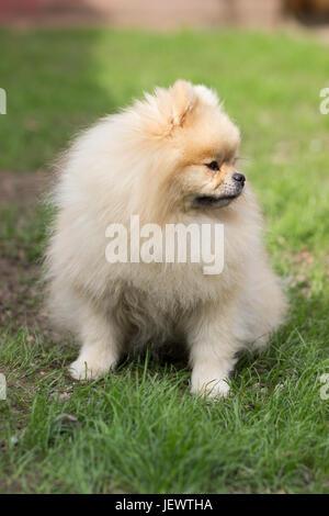 Pomeranian pomeranian beige sits contented on green grass - Stock Photo