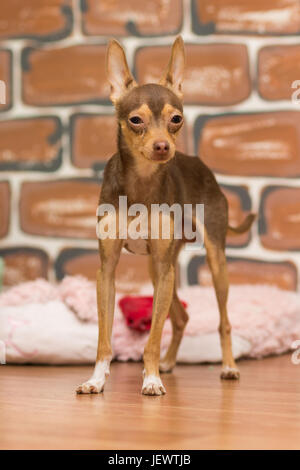 Portrait of a brown slender toy terrier on a brown background - Stock Photo