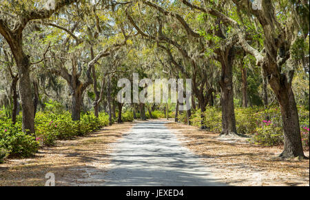 Covered rural road in the Southern United States.  The path is framed by azaleas and Spanish moss hanging from live - Stock Photo