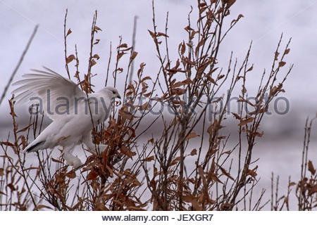 A willow ptarmigan in the snow, tundra and willows of Northern Canada. The Ptarmigan are camouflage adapters, changing - Stock Photo