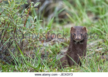 Pine martens are found in abundance throughout the watershed. This fellow chased a ground squirrel throughout our - Stock Photo