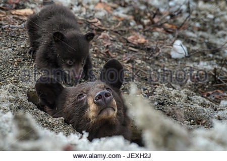 A weeks-old black bear cub comes out of its den for the first time, with its mother. - Stock Photo