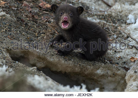 A weeks-old black bear cub crying after it comes out of its den for the first time. - Stock Photo