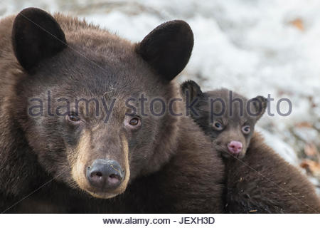 Portrait of a weeks-old black bear cub out of its den for the first time, with its mother. - Stock Photo