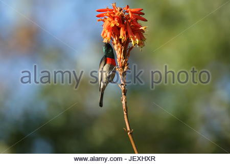 Greater double-collared sunbird, Nectarinia afra. - Stock Photo