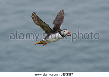 An Atlantic puffin, Fratercula arctica, carrying freshly caught sand eels back to its chick. - Stock Photo