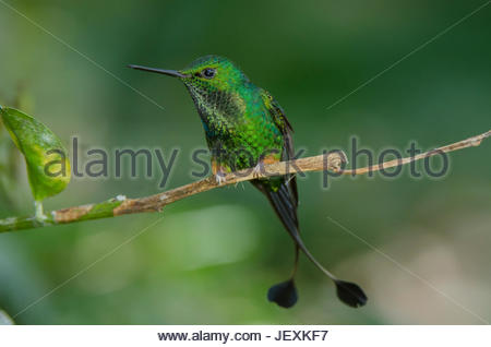 A male booted racket-tail hummingbird, Ocreatus underwoodii, perched on a twig. - Stock Photo