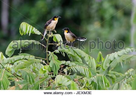 A pair of black-capped donacobius, Donacobius atricapilla, calling. - Stock Photo