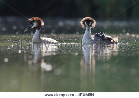 A pair of great crested grebes, Podiceps cristatus, courts following a territorial dispute with a neighboring pair. - Stock Photo