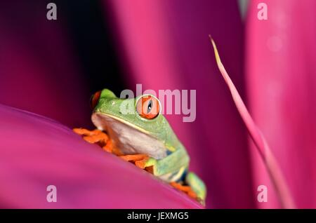 A red eyed tree frog, Agalychnis callidryas, rests on a leaf at Tortuguero National Park.