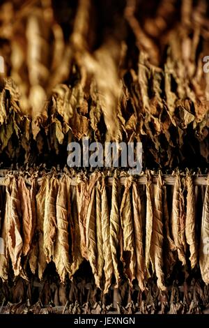 Tobacco leaves dry on a plantation in Pinar del Rio. - Stock Photo