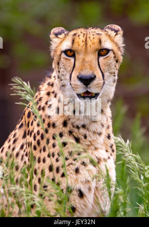 Portrait of cheetah in high grass - Stock Photo