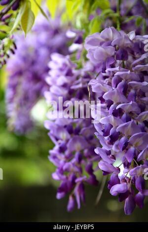 3 Wisteria Flowers - Stock Photo