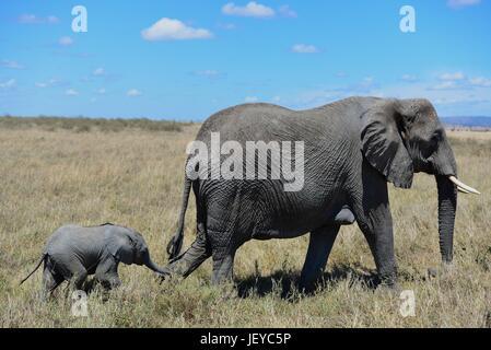 Elephants roaming the savanna of the Serengeti in Tanzania. - Stock Photo