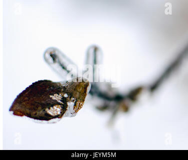 Solitary branch encased in ice with withered single leaf - Stock Photo