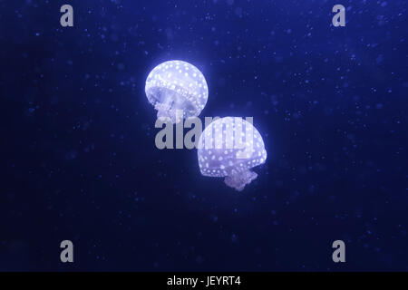 White spotted jellyfish - Stock Photo