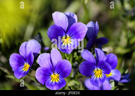 Floral background with wild violets - Stock Photo