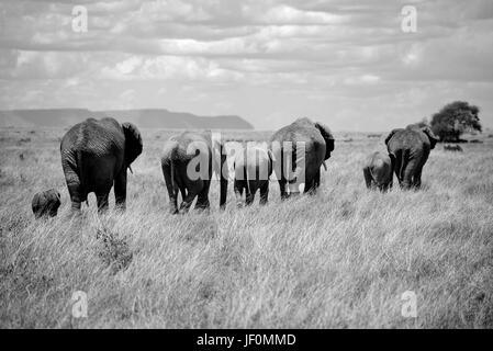 Elephants grazing the Serengeti National Park. - Stock Photo