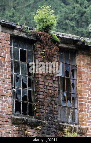 Norway Spruce on a ruined building - Stock Photo
