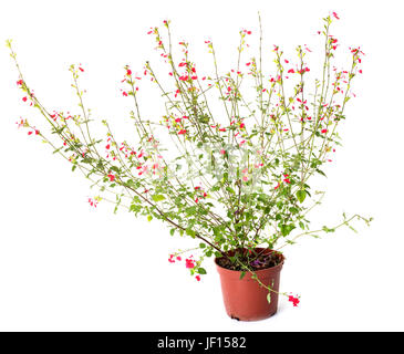 Salvia grahamii hot lips in front of white background - Stock Photo