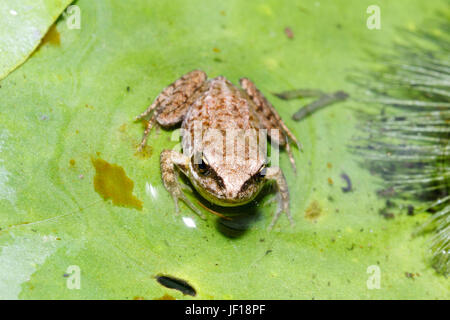 Froglet of the Common Frog (Rana temporaria) on a lily pad in a garden pond, East Sussex, UK - Stock Photo