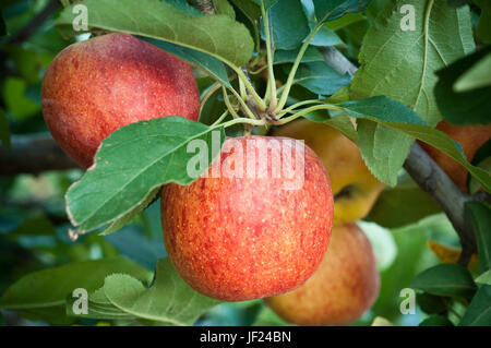 Organically grown Gala Apples hanging on tree ready for harvest. - Stock Photo