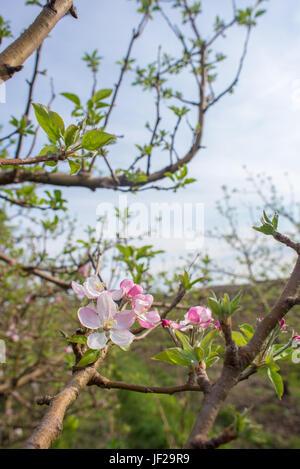 Apple Blossoms on Tree - Stock Photo