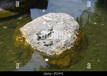 Big and small turtles sun bathing on large rock in pond at park, and were once pets that were released to get freedom. - Stock Photo