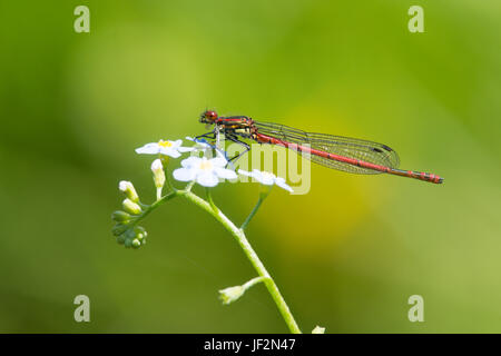 Large red damselfly, Pyrrhosoma nymphula, perched on Water Forget-me-not, Myosotis scorpioides. June. Sussex, UK. - Stock Photo