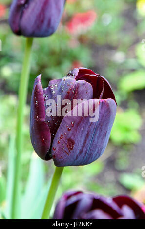 The black flowers of Tulipa 'Queen of Night' Tulips - Stock Photo