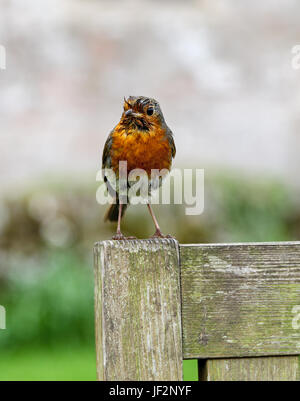 A European robin (Erithacus rubecula), known simply as the robin or robin redbreast  perched on a wooden seat - Stock Photo