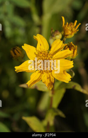 Guizotia abyssinica, Ramtil, Niger seed - Stock Photo
