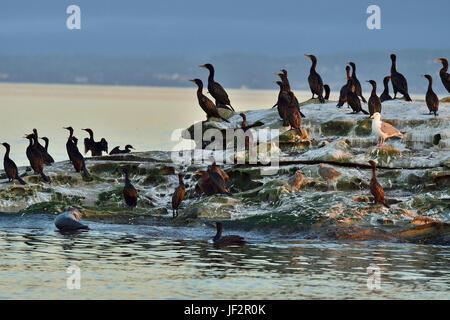 Sea birds on a rocky island in the Strait of Georgia off Vancouver Island British Columbia Canada - Stock Photo