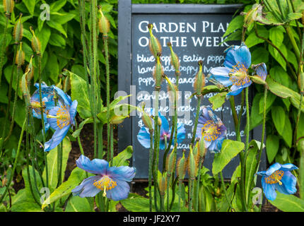 Himalayan Blue Satin Poppies, Mecanopsis, with Garden Plant of the Week chalk board sign, Dirleton Castle Garden, - Stock Photo