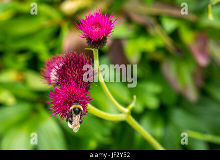 Close up of bumblebee on magenta thistle, Cirsium rivulare Atropurpureum, with blurred background, Dirleton Castle - Stock Photo